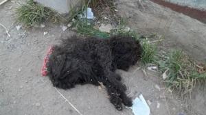 """cachorro poodle preto abandonado """"são paulo"""""""